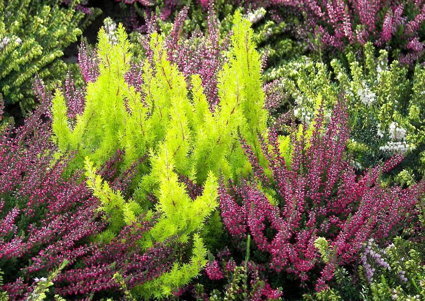 erica-aborea-baumheide-hellgruenes-heidekraut-und-calluna-vulgaris-ein-knospenblueher