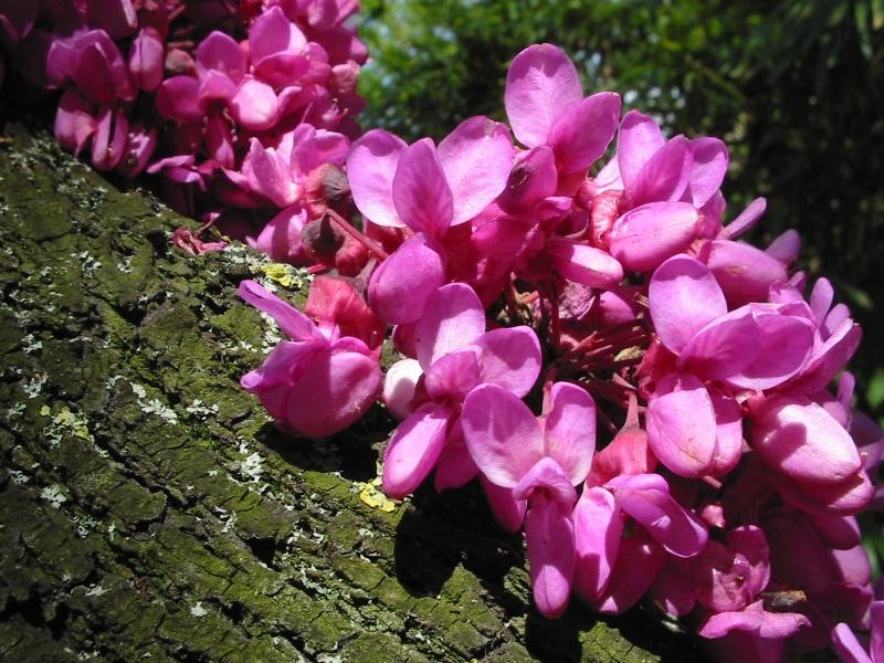 Рожков (Cercis siliquastrum)