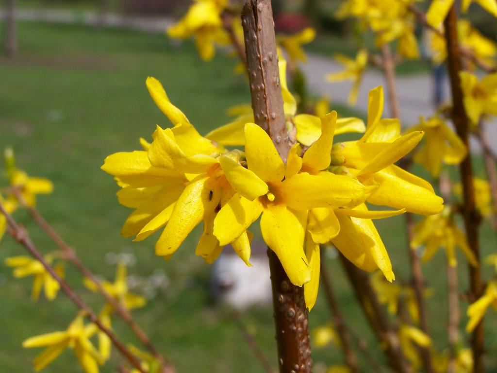 Форзиция (Forsythia sp.).