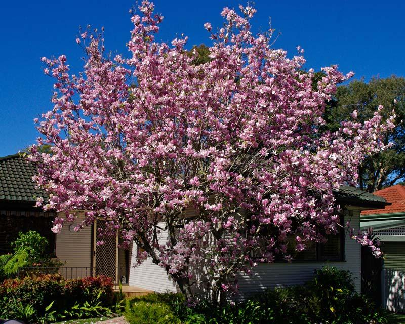 Magnolia-Soulangeana-