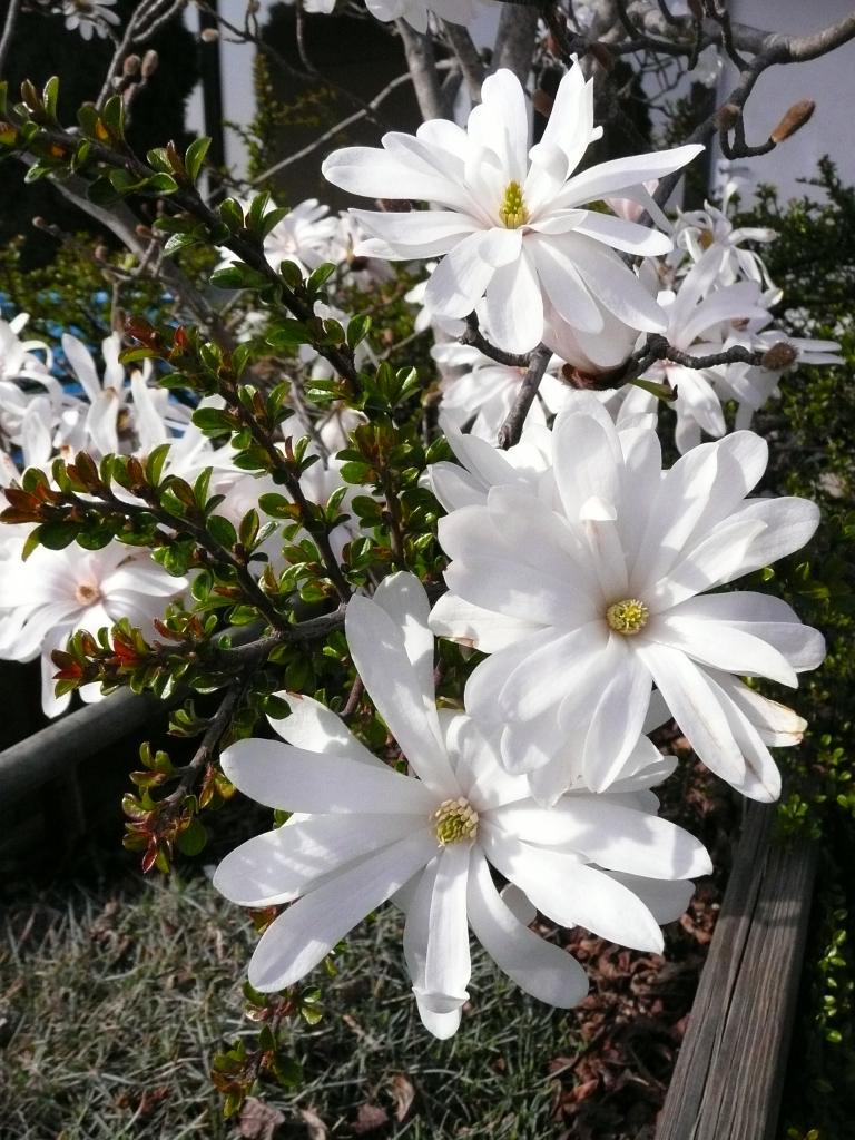 Magnolia_stellata_HD