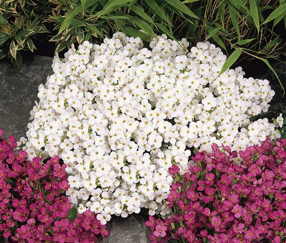 Бял арабис (Arabis sp.)