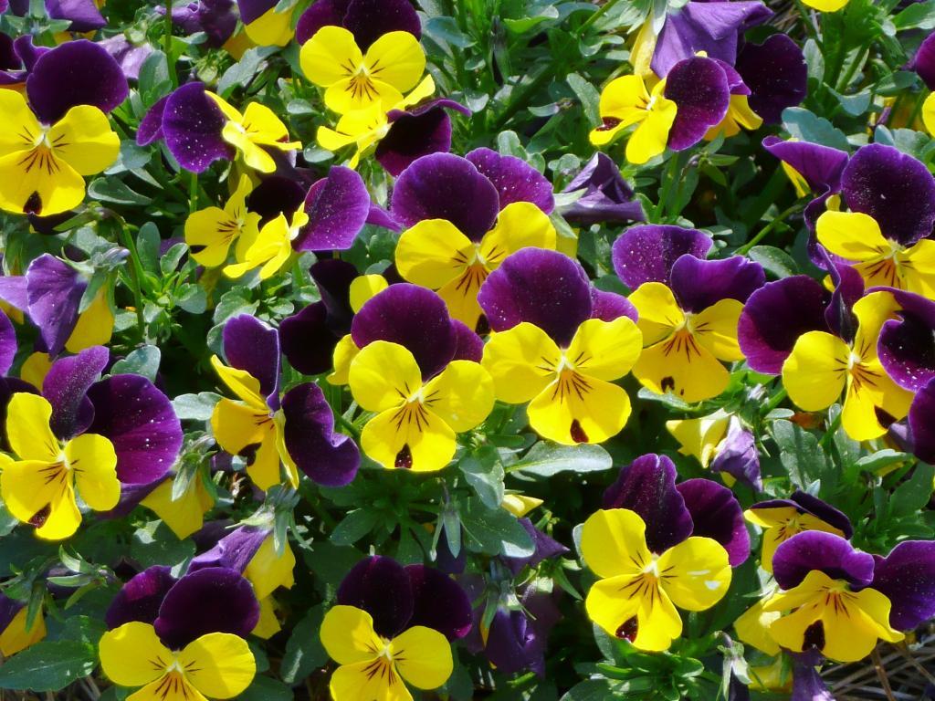 Теменужки (Viola sp.)